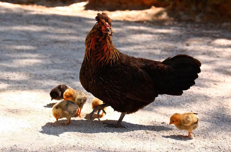 팬데믹 때문에 늘어난 닭 판매량
