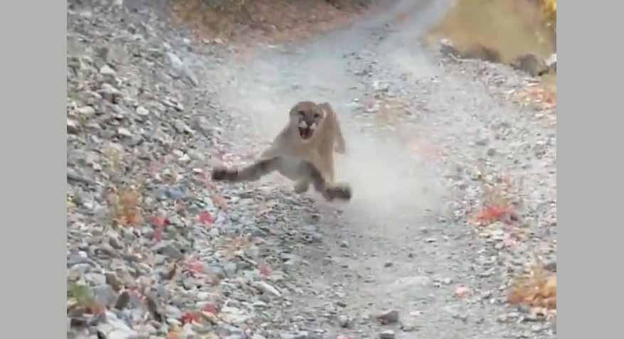 유타의 한 남자 산책길에서 쿠거를 만난후 식겁하고 있는 영상
