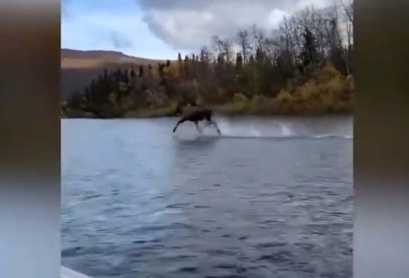 알래스카에서 물 위를 달리는 무스 동영상, 예수?