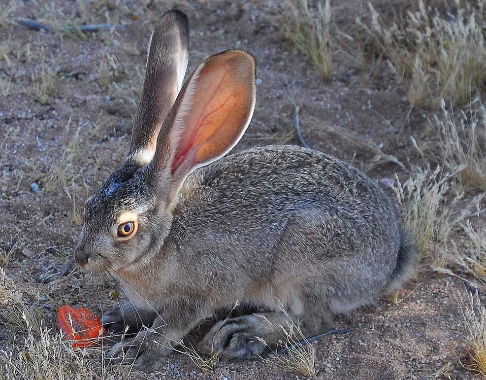 텍사스 야생동물 관리자들, 2021년 첫 번째 치명적인 토끼 바이러스 사례 확인