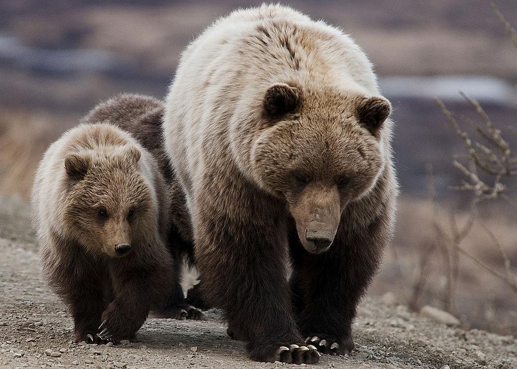 옐로스톤 근처 그리즐리 곰, 이 지역 여행 가이드 물어 죽여