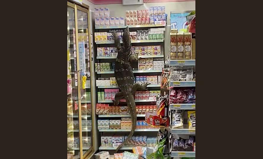 태국 나콘파톰의 편의점에 들어온 거대한 도마뱀