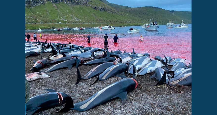 페로 제도에서 하루 만에 1400마리 돌고래 사냥