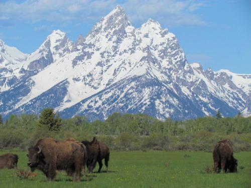 Bison Teton