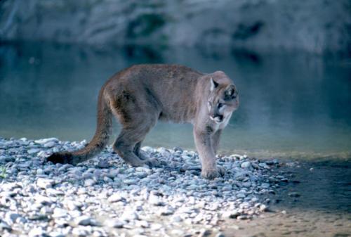 Mountain Lion in Grand Teto