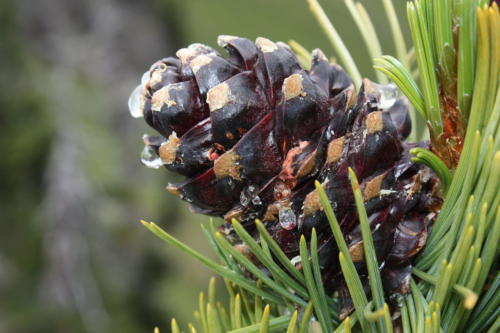 Pinus albicaulis 8574