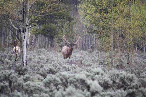 Elk in wild